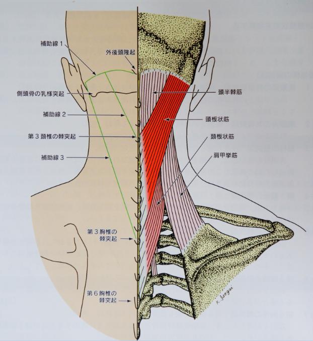 頚部後面に付着する骨格筋の解剖学的特徴